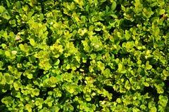 背景配件箱黄杨属庭院结构树 免版税库存图片