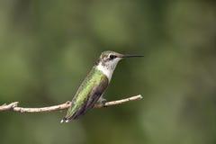 背景重点绿色蜂鸟 免版税库存照片