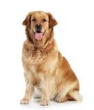 背景金毛猎犬白色 免版税库存照片
