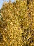 背景金黄秋叶的纹理样式在树的 免版税图库摄影