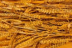 背景金黄麦子 库存图片