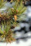 背景锥体查出的对象杉木白色 免版税库存照片