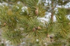 背景锥体查出的对象杉木白色 免版税图库摄影