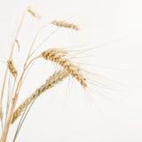 背景镜象查出在麦子白色 免版税库存图片