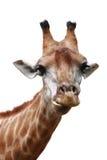 背景长颈鹿题头查出的射击 免版税图库摄影