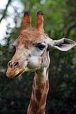 背景长颈鹿题头脖子纵向 免版税库存照片