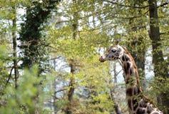 背景长颈鹿题头脖子结构树 图库摄影