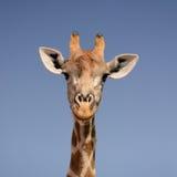背景长颈鹿题头脖子纵向 库存照片