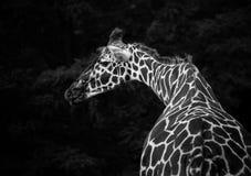 背景长颈鹿题头脖子纵向 图库摄影