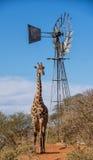 背景长颈鹿题头脖子纵向 免版税库存图片