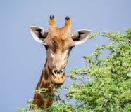 背景长颈鹿题头脖子纵向 库存图片