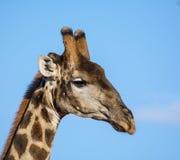 背景长颈鹿题头脖子纵向 免版税图库摄影