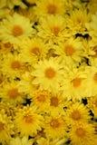 背景雏菊开花许多黄色 免版税库存照片