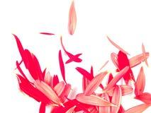 背景雏菊落的大丁草瓣 免版税图库摄影