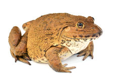 背景青蛙查出的白色 免版税图库摄影