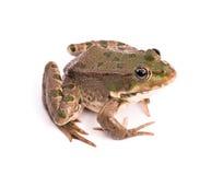 背景青蛙白色 库存图片