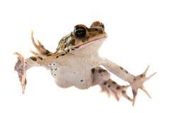 背景青蛙白色 免版税库存图片