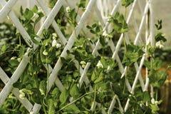 背景项目符号绿豆荚白色 库存照片