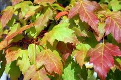 背景颜色秋天留给槭树混合 免版税库存图片