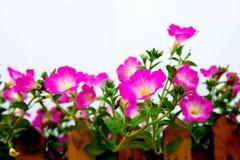 背景颜色花荣耀早晨自然紫罗兰 图库摄影
