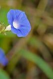 背景颜色花荣耀早晨自然紫罗兰 库存照片