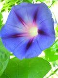 背景颜色花荣耀早晨自然紫罗兰 库存图片