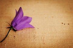 背景风铃草vignetted的粗麻布紫色 库存图片