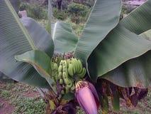 背景香蕉果子查出白色 库存图片