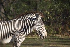背景马属查出配置文件拟斑马走的空白斑马 图库摄影