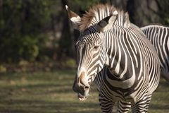 背景马属查出配置文件拟斑马走的空白斑马 免版税库存图片
