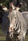 背景马属查出配置文件拟斑马走的空白斑马 免版税图库摄影