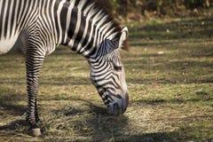 背景马属查出配置文件拟斑马走的空白斑马 库存图片
