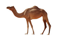 背景骆驼查出的白色 免版税图库摄影
