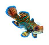背景鱼查出的普通话白色 免版税库存照片
