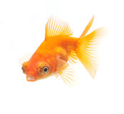 背景鱼金子查出的白色 库存图片