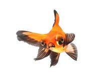 背景鱼金子查出的白色 免版税库存照片