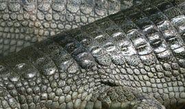 背景鳄鱼皮肤 库存图片