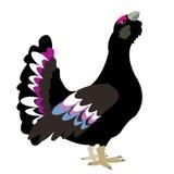背景鸟黑色松鸡白色 库存图片