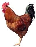 背景鸡查出的白色 免版税库存照片