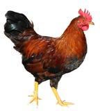 背景鸡查出的白色 库存照片