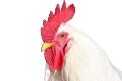 背景鸡查出的白色 库存图片