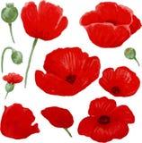 背景鸦片红色白色 花蕾 库存例证