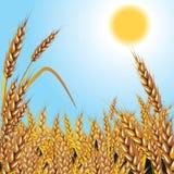 背景麦子 免版税库存照片