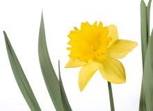 背景黄水仙查出的空白黄色 免版税库存图片