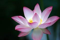 背景黑暗的花莲花 免版税图库摄影