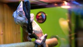背景黑色变色蜥蜴查出的动物园 股票视频