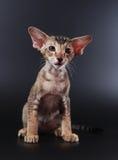 背景黑色小猫东方人 图库摄影