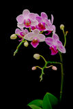 背景黑色开花的分行兰花 免版税库存图片