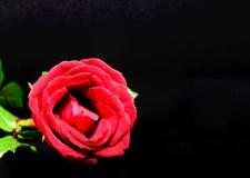 背景黑色红色上升了 有天鹅绒瓣的美丽的开花 与文本空间的红色花横幅模板 图库摄影