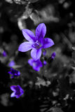 背景黑色花紫色白色 库存照片